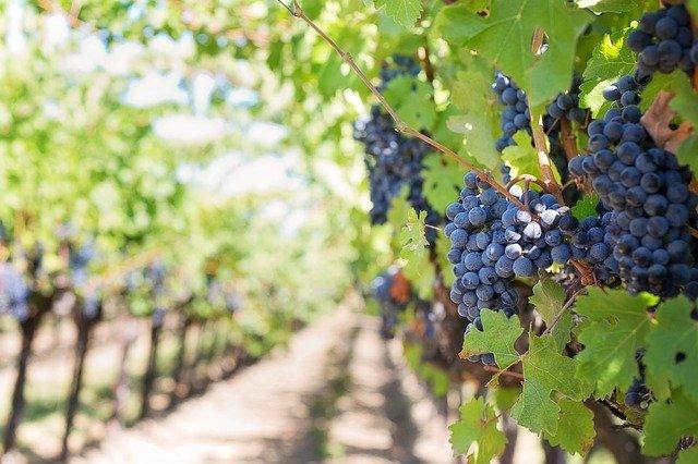 As uvas escuras usadas na produção dos vinhos secos são ricas em polifenois, substância com efeito antioxidante e antibiótica.